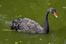 Free Black Swan - Cygnus Atratus Stock Photo - 15963790