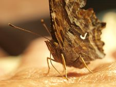 Free Butterfly, Hydaspe Fritillary Royalty Free Stock Photo - 15966355