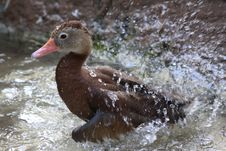 Free Bathing Duck Royalty Free Stock Photography - 15966817
