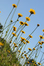Free Yellow Flowers Royalty Free Stock Images - 15978709