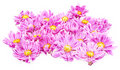Free Pink Daisies Stock Images - 15978774