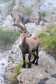 Free Ibex Stock Photo - 15971470