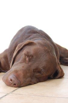 Free Chocolate Labrador Stock Photos - 15973853