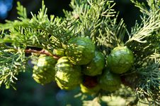 Free Small Lumps On The Coniferous Tree Royalty Free Stock Image - 15974076
