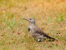 Free The (female) Ground Woodpecker Stock Photography - 15974182