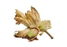 Free Cobnut - Hazelnut Or Filbert Royalty Free Stock Photo - 15974255