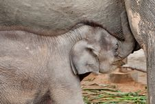 Free Baby Elephant Drinks Milk From Mother Stock Photo - 15974820
