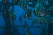 Free Batfish Stock Images - 15975004