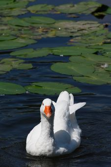 Free A Duck In A Lake Royalty Free Stock Photography - 15975697