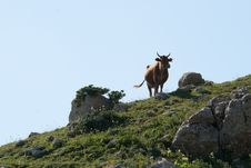 Free Cow In The Mountains Royalty Free Stock Photos - 15976168