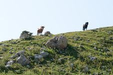 Free Cows In The Mountains Stock Image - 15976241