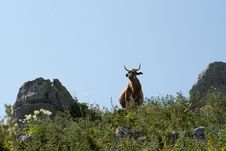 Cow In The Mountains Royalty Free Stock Photography
