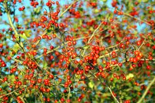 Free Autumn Berries Stock Image - 15976591