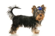 Free Yorkshire Terrier Stock Images - 15977334