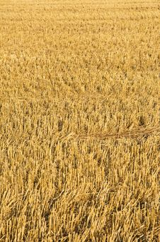Free Field Of Gold; Stubble Field At Harvest-time. Royalty Free Stock Images - 15978689