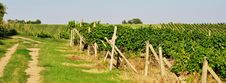 Green Vineyard Royalty Free Stock Image