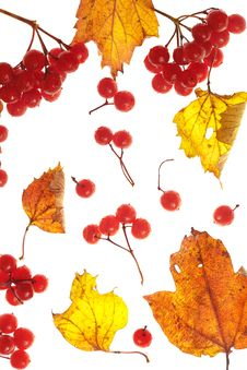 Free Viburnum And Yellow Leaves Stock Photography - 15979802