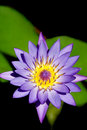 Free Day Water Lily Royalty Free Stock Photography - 15988977
