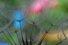 Free Dandelion Royalty Free Stock Image - 15980846