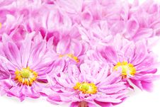 Free Pink Daisies With Rain Drops Royalty Free Stock Image - 15980886