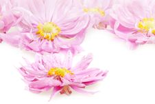 Free Wet Pink Daisies In Detail Royalty Free Stock Photo - 15980895