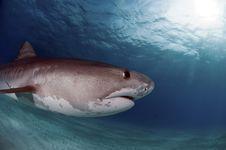 Free Tiger Shark Royalty Free Stock Photos - 15982178