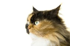 Free Portrait Of A Beautiful Persian Catю Isolated Royalty Free Stock Image - 15982276
