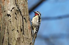 Free Downey Woodpecker Royalty Free Stock Photography - 15982497