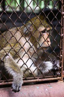 Free Monkey And Hope Freedom Royalty Free Stock Image - 15982566