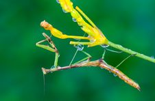 Free Praying Mantis Royalty Free Stock Photos - 15982868