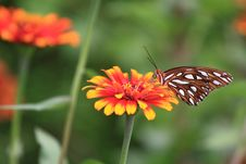 Free Monarch Butterfly On A Zinnia Flower Royalty Free Stock Images - 15982919