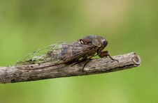 Free Cicada Royalty Free Stock Images - 15982939