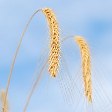 Free Close-up Of Wheat On Sky Background Royalty Free Stock Photos - 15983178