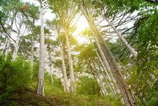 Free Sunlight In Forest Royalty Free Stock Images - 15983559