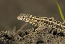 Free Lizard Small Stock Photos - 15984763