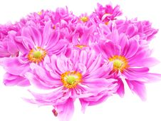 Free Pink Daisies In Detail Stock Images - 15985824