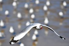 Free Seagull Royalty Free Stock Photo - 15985915
