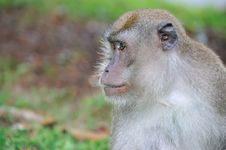 Free Monkey Royalty Free Stock Photo - 15988355