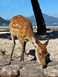 Free Deer In Miyajima Royalty Free Stock Photos - 15988438