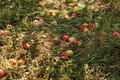 Free Fall Apples Stock Image - 15990681