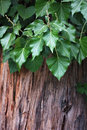 Free Ivy On Old Tree Background Stock Photo - 15993120