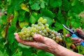 Free Hand Holding A Grape Royalty Free Stock Photos - 15994238