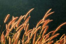 Free Dry Reed Stock Image - 15990921