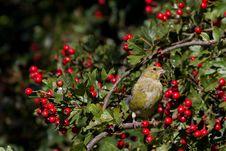 Free Greenfinch (Carduelis Chloris) Royalty Free Stock Images - 15991019