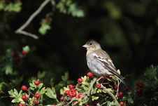 Free Chaffinch Stock Images - 15991054