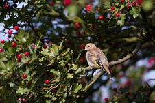 Free Goldfinch (Carduelis Carduelis) Stock Images - 15991184