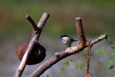 Willow Tit (Poecile Montanus) Royalty Free Stock Photo