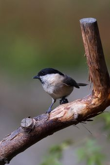 Willow Tit (Poecile Montanus) Stock Image