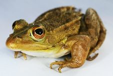 Free Green-brown Frog Stock Photo - 15992290