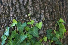 Free Ivy On Old Tree Background Royalty Free Stock Image - 15992806
